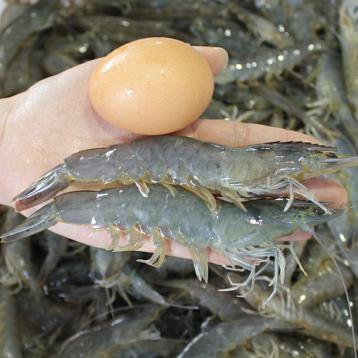 118元3斤包顺丰空运!丰度 青岛海捕大海虾1500g(60-80只)